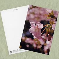 携帯向け花の待ち受け画像サイト「mobile flower pot」でご好評いただいた画像「サクラ(ピンク)」をポストカードにしました。 用紙は「ホワイトミラー上質」。表面は強光沢ですが、宛名面が上質紙ですので、ご家庭のプリンターで宛名を印刷することが可能です。 はがきとしてはもちろん、フォトスタンドに入れて飾るのも、メッセージカードとしてプレゼントに添えるのもいいですよ!