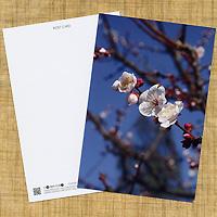 携帯向け花の待ち受け画像サイト「mobile flower pot」でご好評いただいた画像「ウメ」をポストカードにしました。 用紙は「ホワイトミラー上質」。表面は強光沢ですが、宛名面が上質紙ですので、ご家庭のプリンターで宛名を印刷することが可能です。 はがきとしてはもちろん、フォトスタンドに入れて飾るのも、メッセージカードとしてプレゼントに添えるのもいいですよ!